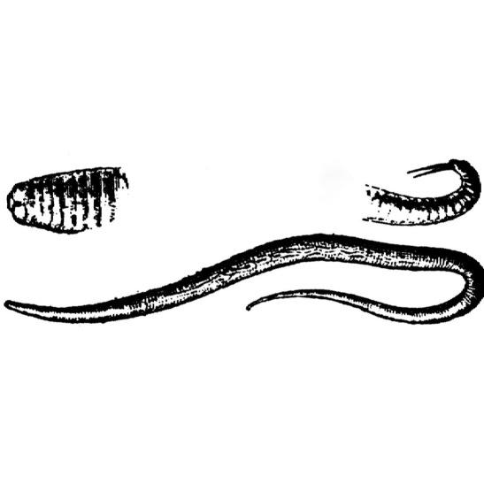 Ascaris lumbricoides, ou lombriga